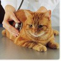 Nous demandons l'interdiction de couper les oreilles des chats errants stérilisés