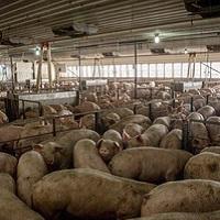 Retrait du permis de construire d'une mega porcherie à Heuringhem !
