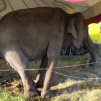 Libérez l'éléphante Maya du cirque la Piste d'Or !
