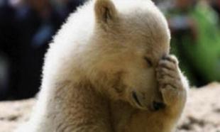 Non au massacre des ours et loups ainsi que leur bébés dans leur terrier !