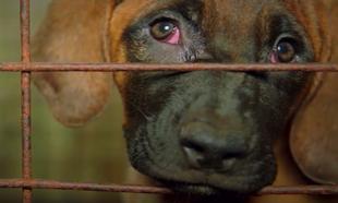 Corée du Sud: de la maltraitance animale dans vos assiettes!