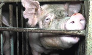 Souffrances animales : pensez-vous que les pratiques dans les abattoirs se sont améliorées ?