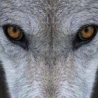 Pour que vive le loup et que vive le pastoralisme !