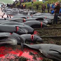 Arrêtez le massacre ignoble des dauphins aux îles Feroe !