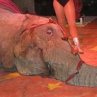 Nous ne voulons pas de cirques avec animaux à Angers !
