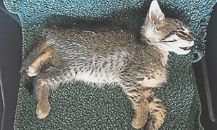 Hécatombe de chats empoisonnés dans l'Aude