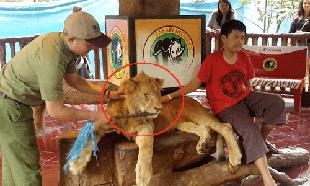 Arrêtons les photos avec les lions, drogués et maltraités, à l'étranger ou dans les zoos !