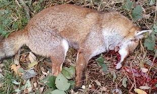 Sauvons du massacre les loups des Abruzzes