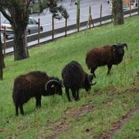 Non aux moutons sur le périphérique !