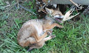 Non aux piégeages des renards !