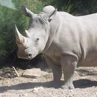 Meurtre d'un rhinocéros : 3 balles tirées pour une corne