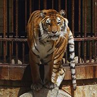 Stop à l'exploitation des tigres de Fort Boyard