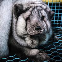 Non au gavage à morts des renards pour des fourrures parfaites vendues à Gucci, Michael Kors et Louis Vuitton