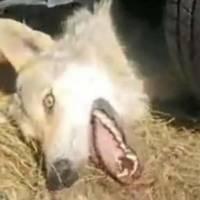 Justice pour le loup martyr de Russie