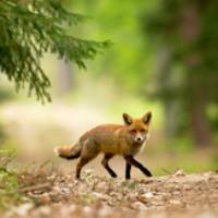 Non à l'abbattage des renards à Sainte Foy De Peyrolieres