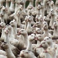 Grippe aviaire : Pensez-vous que l'abattage des canards suffira-t-il à stopper cette maladie ?