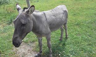 Pour améliorer les conditions de vie du petit âne !