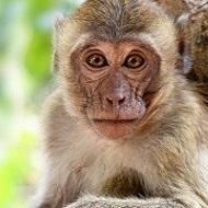 Nous refusons l'ouverture et l'extension d'un élevage de 1600 primates près de Strasbourg !