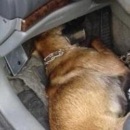Il a laissé mourir cette chienne Princesse dans une voiture !
